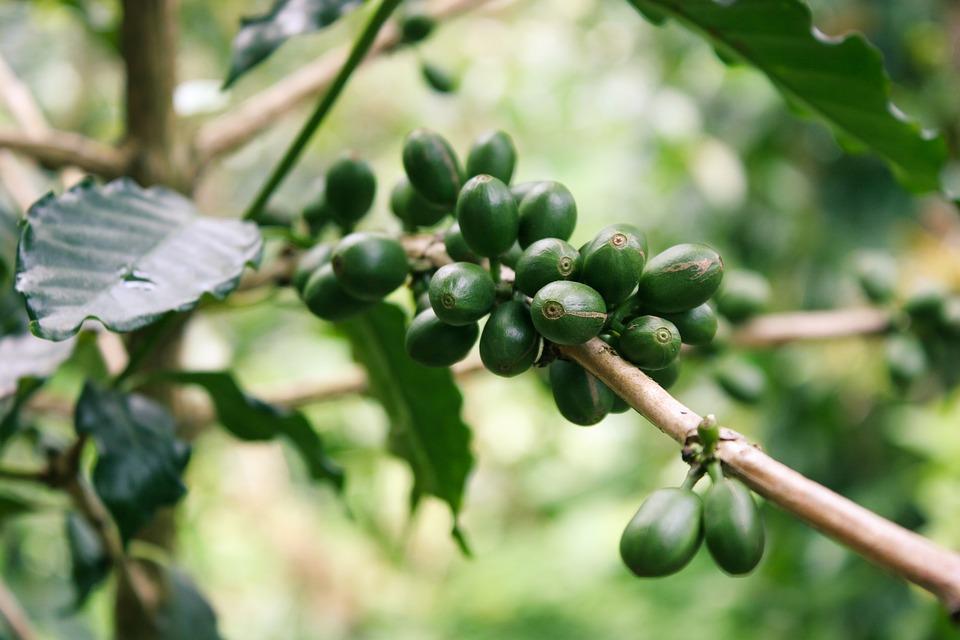 come si consuma il Caffè verde